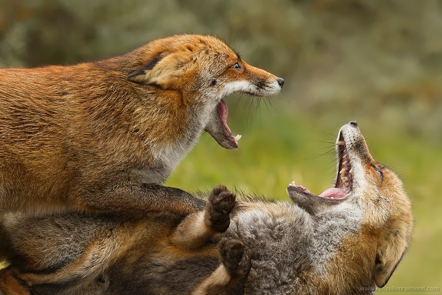 red fox fight